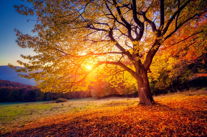 Majestic beech tree alone on a hill slope with sunny beams at mountain valley. Dramatic colorful morning scene. Red and yellow autumn leaves. Majestic beech tree alone on a hill slope with sunny beams at mountain valley. Dramatic colorful morning scene. Red and yellow autumn leaves.